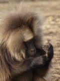 Gelada baboon. Ape studying his hands, Simien mountains, Ethiopia royalty free stock images