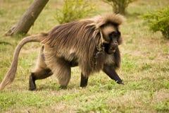 Gelada Baboon Stock Photo