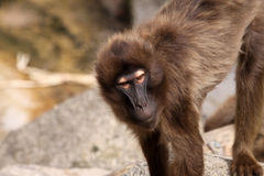 Gelada Baboon. Theropithecus gelada - looking at camera royalty free stock photos