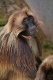 Gelada baboon Stock Photos