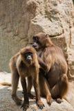 Gelada baboon stock image
