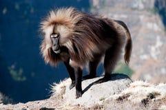 Gelada Baboon Royaltyfri Foto