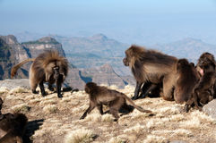Gelada Baboon. In Simien mountains in Ethiopia Royalty Free Stock Image