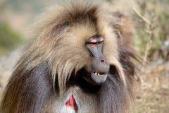 Gelada baboon Royaltyfri Bild