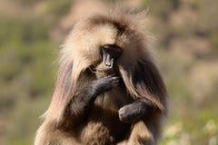 Gelada baboon Arkivfoto