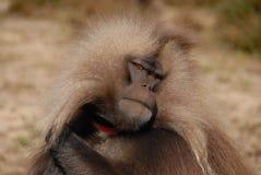 Gelada baboon Arkivbilder