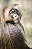 Gelada baboon Royaltyfria Foton