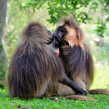 Gelada baboon. And bleeding-heart baboon, is a species of Old World monkey royalty free stock photography