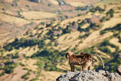 Gelada baboon and cub. Mother gelada baboon and her small clinging to her back stock photo