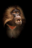 Gelada baboon royalty free stock photography