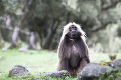 Gelada baboon eating grass in Simien mountains, Ethiopia. Gelada baboon eating in Simien mountain highlands, Ethiopia royalty free stock photography