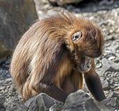 Gelada baboon female 5 Royalty Free Stock Photo