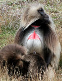 Gelada Baboon royalty free stock images