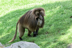 Gelada baboon monkey ape portrait Royalty Free Stock Photography