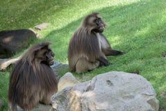 Gelada baboon monkey ape portrait Stock Photos