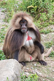 Gelada baboon monkey ape portrait. On the grass Royalty Free Stock Photos