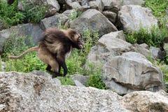 Gelada baboon monkey ape portrait running. Gelada baboon monkey ape portrait on the grass stock images