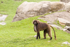 Gelada baboon. Monkey, Theropithecus gelada stock photos