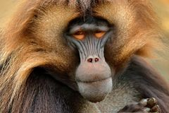 Gelada Baboon with open muzzle with tooths. Portrait of monkey from African mountain. Simien mountain with gelada monkey. Big monk stock photo