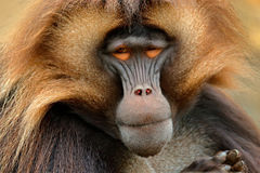 Gelada Baboon with open muzzle with tooths. Portrait of monkey from African mountain. Simien mountain with gelada monkey. Big monk. Ey royalty free stock photos