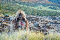 Male Gelada baboon. Gelada baboon in the Simien Mountain range, Ethiopia royalty free stock images