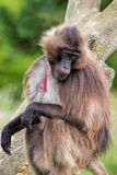 Gelada Baboon Sitting On Tree stock images