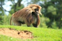 Gelada baboon Royalty Free Stock Photo