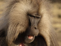 Gelada baboon - Theropithecus gelada Stock Photo