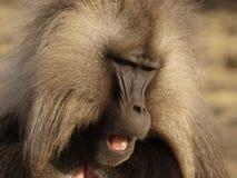 Gelada baboon - Theropithecus gelada. Male gelada baboon, Simien mountains, Ethiopia Stock Photo
