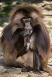 Gelada baboon Theropithecus gelada. Also known as the bleeding-heart monkey royalty free stock photo
