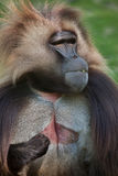 Gelada baboon Theropithecus gelada. Also known as the bleeding-heart monkey stock image