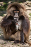 Gelada baboon Theropithecus gelada. Also known as the bleeding-heart monkey stock images