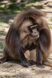 Gelada baboon Theropithecus gelada. Also known as the bleeding-heart monkey stock photo