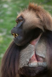 Gelada baboon Theropithecus gelada. Also known as the bleeding-heart monkey stock photography