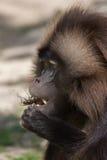 Gelada baboon Theropithecus gelada eating the stag beetle. Lucanus cervus stock photos