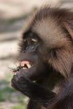 Gelada baboon Theropithecus gelada eating the stag beetle stock photo