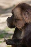 Gelada baboon Theropithecus gelada eating the stag beetle stock photography