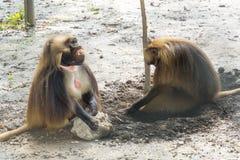 Gelada baboon (Theropithecus gelada) Royalty Free Stock Photo