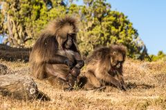 Gelada Baboon - Theropithecus Gelada. Simien Mountains in Ethiopia stock photos