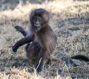 Gelada Baboon - Theropithecus Gelada. Simien Mountains in Ethiopia stock photo