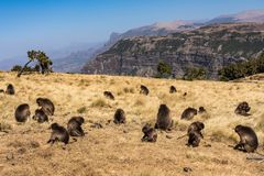 Gelada Baboon - Theropithecus Gelada. Simien Mountains National Park in Ethiopia. Gelada Baboon Theropithecus Gelada . Simien Mountains National Park. Geladas stock image