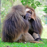 Gelada baboon. The gelada (Theropithecus gelada), sometimes called the gelada baboon and bleeding-heart baboon, is a species of Old World monkey found only in royalty free stock photos