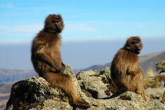 Gelada Baboons royalty free stock photos