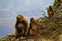 Gelada baboons royalty free stock photography