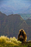 Gelada baboons Royalty Free Stock Image
