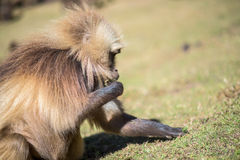Gelada baboons feeding on roots Royalty Free Stock Photography