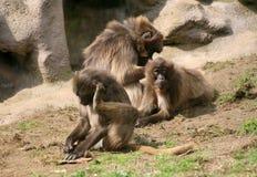 Gelada Baboons grooming stock photography