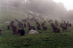 Gelada baboons Royalty Free Stock Photo