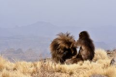 Gelada baboons preening in the Simien Mountains stock images