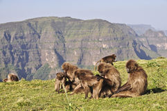 Gelada baboons in Simien mountains Royalty Free Stock Image